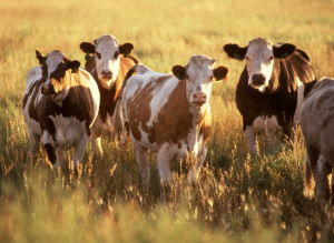 10201-cows-in-a-field-pv